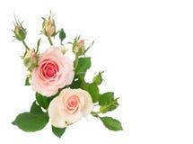 紫罗兰开花的玫瑰 图库摄影