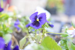 紫罗兰是三色 免版税库存照片