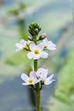 水紫罗兰植物画象  库存照片