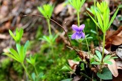 紫罗兰色中提琴 库存照片