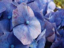 紫罗兰色八仙花属花 图库摄影