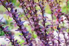 紫罗兰色分支在春天 库存照片