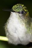 紫罗兰色加盖的woodnymph蜂鸟画象 免版税库存图片
