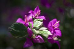 紫罗兰色叶子 免版税库存照片