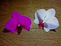 紫罗兰色和白色兰花 免版税库存照片