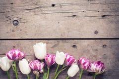 从紫罗兰色和白色郁金香的边界在年迈的木后面开花 免版税库存照片
