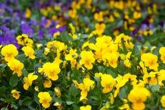 紫罗兰色和黄色中提琴 图库摄影