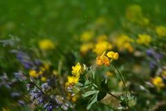 紫罗兰色和黄色花背景 免版税库存图片