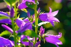 紫罗兰色响铃 免版税图库摄影
