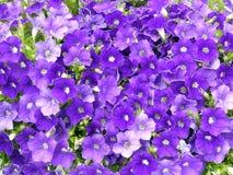 紫罗兰色喇叭花在庭院里 免版税库存照片