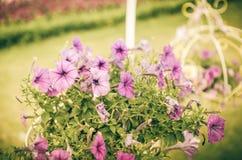 紫罗兰色喇叭花或喇叭花Hybrida Vilm葡萄酒 免版税图库摄影