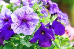 紫罗兰色喇叭花 免版税图库摄影