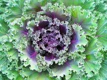 紫罗兰色圆白菜 库存图片