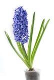 紫罗兰色在白色背景隔绝的罐的风信花开花的花 库存照片