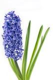 紫罗兰色在白色背景隔绝的罐的风信花开花的花 库存图片