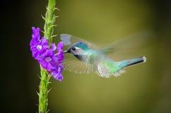 紫罗兰色带头的蜂鸟 免版税库存图片
