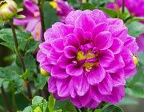 紫罗兰色庭院大丽花 库存图片