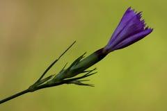 紫罗兰色康乃馨狂放的sylvestris 库存图片