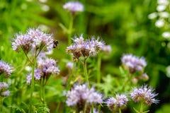 紫罗兰色开花的有花边的phacelia和一只长毛的土蜂 免版税图库摄影
