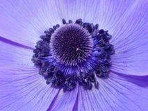 紫罗兰色开花 图库摄影