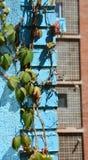紫罗兰色旋花植物arvensis 库存照片