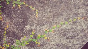 紫罗兰色旋花植物arvensis 库存图片
