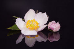 紫罗兰色日本银莲花属花与芽的在blac 免版税库存照片