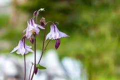 紫罗兰色春天开花与对此的一只蜂弄脏了背景 免版税库存照片