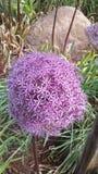 紫罗兰色春天花 库存图片