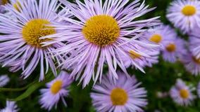 紫罗兰色春黄菊 库存图片