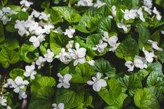 紫罗兰色有气味的庭院 库存图片