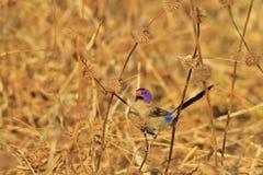 紫罗兰色有耳的Waxbill -非洲狂放的鸟背景-五颜六色的自然 免版税图库摄影