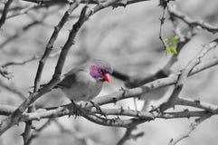紫罗兰色有耳的Waxbill -非洲狂放的鸟背景-有选择性的颜色 免版税图库摄影
