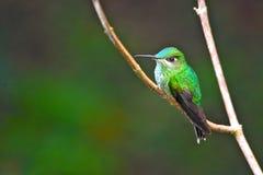 紫罗兰色朝向的精采,被栖息的蜂鸟在秘鲁 免版税库存照片