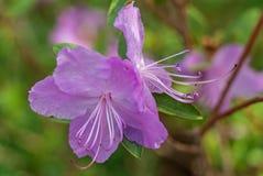 紫罗兰色杜娟花花 美丽的宏观特写镜头照片 免版税库存图片