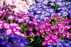 紫罗兰色桃红色和白色瓜叶菊 免版税图库摄影
