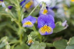 紫罗兰色淡黄色蝴蝶花 免版税库存照片