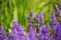 紫罗兰色淡紫色 库存图片