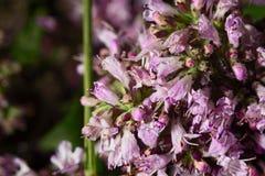 紫罗兰色牛至属植物 免版税库存图片