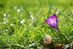 紫罗兰色番红花和蜗牛壳,文本的空间 免版税库存图片