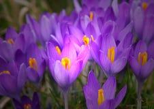 紫罗兰色番红花是其中一朵第一朵春天花当春天backg 免版税库存照片