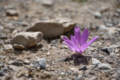 紫罗兰色番红花花的宏指令在石渣的 图库摄影