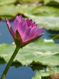 紫罗兰色百合在池塘在一个明亮的晴天,紫罗兰色莲花 库存图片