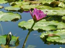 紫罗兰色百合在池塘在一个明亮的晴天,紫罗兰色莲花 免版税库存照片