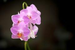紫罗兰色的兰花 免版税图库摄影