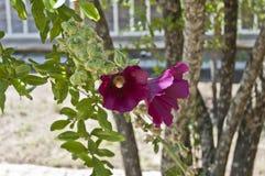 紫罗兰色的双重木槿花 免版税库存照片