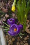 紫罗兰色的番红花 免版税库存图片