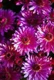 紫罗兰色的菊花 库存照片