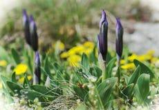 紫罗兰色矮小的虹膜-芽在春天草甸。 免版税库存照片