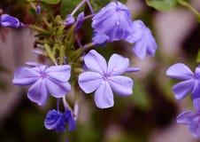 紫罗兰色美丽的花 免版税库存照片